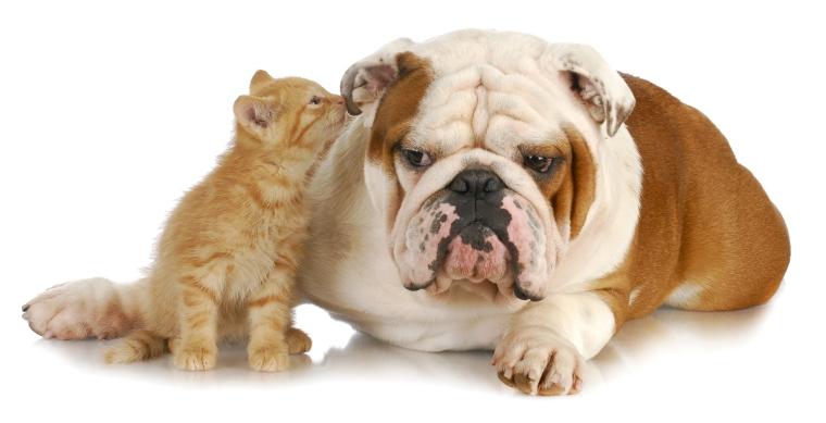 bulldog_and_kitten